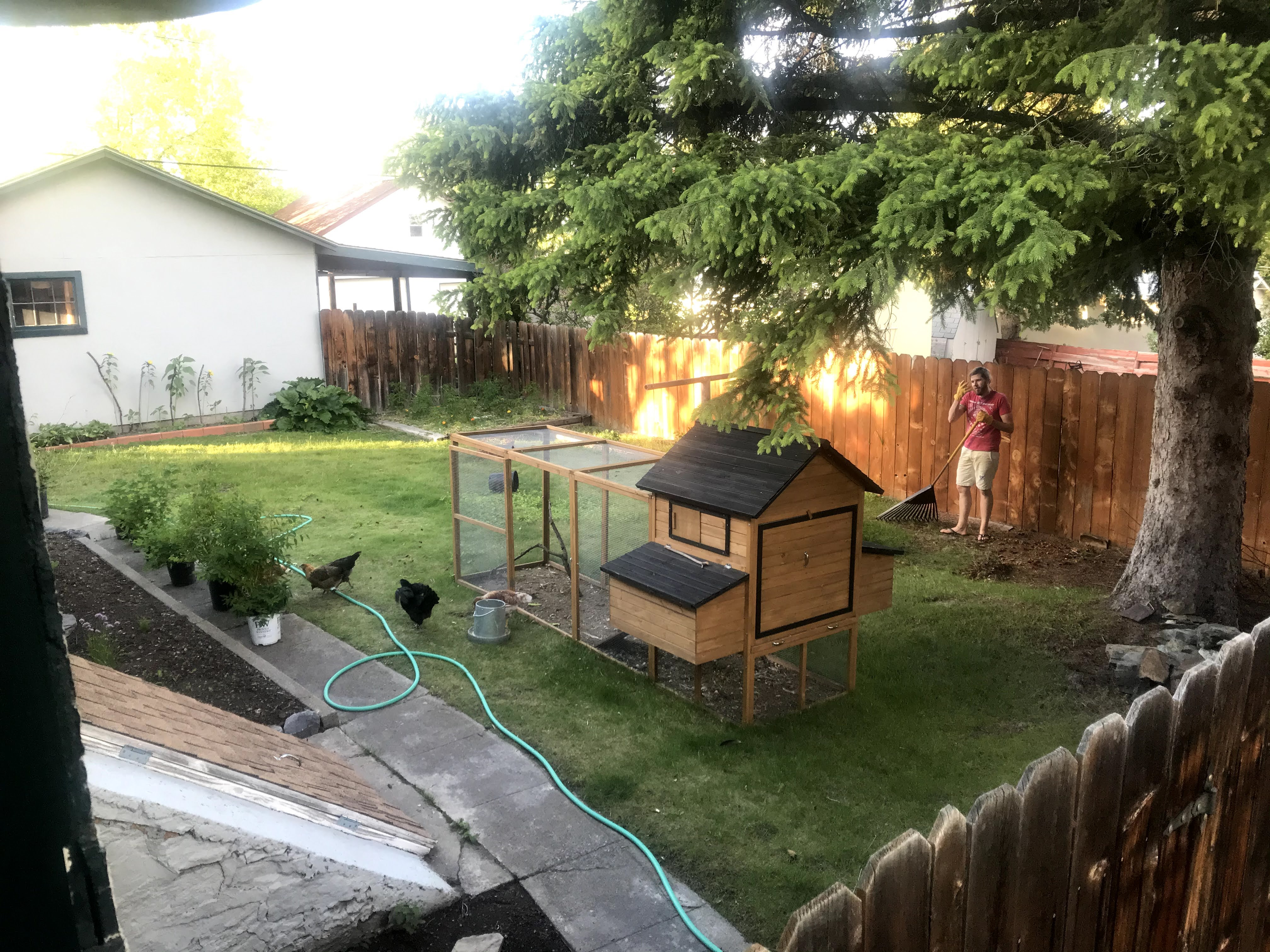 lawn area with chicken coop and chickens foraging